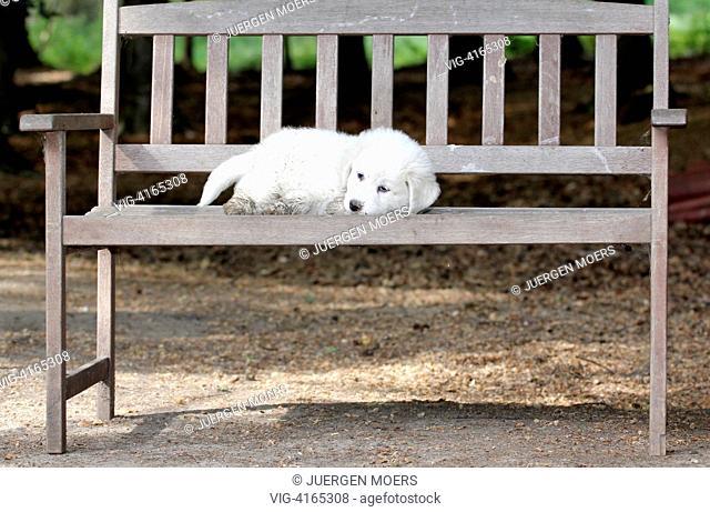 23.05.2011, Germany, Dorsten, young Abruzzen Abruzzese dog sitting on a bench