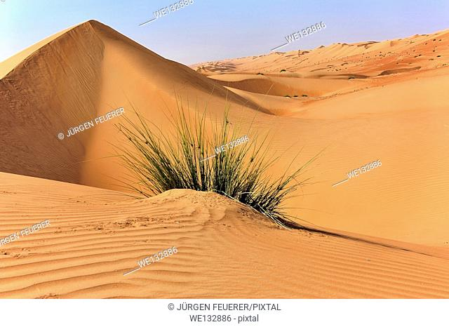 Grass and dunes in the desert Rimal Al Wahiba, Wahiba Sands, Sultanate of Oman