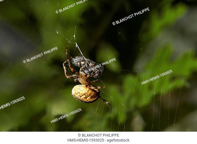 France, Araneae, Araneidae, European garden spider (Araneus diadematus), swaddling its prey, a fly