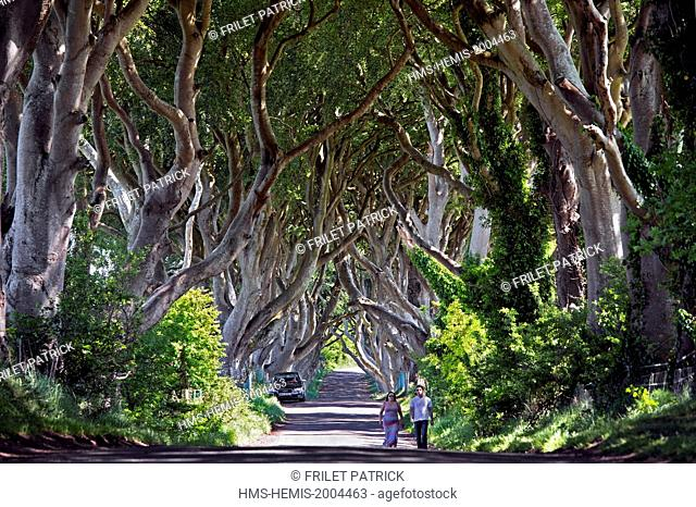 United Kingdom, Northern Ireland, County Antrim, Ballymoney, the Dark Hedges a striking avenue of arched beech trees near Armoy, in the world of Westeros