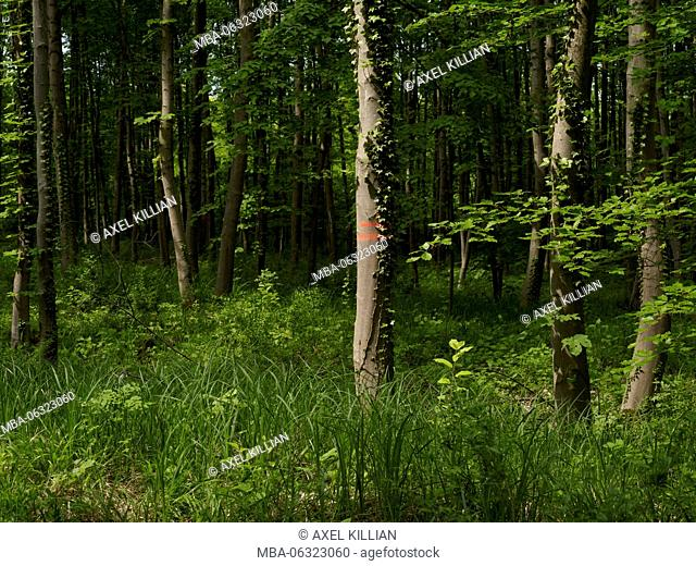 beech forest with grass in spring