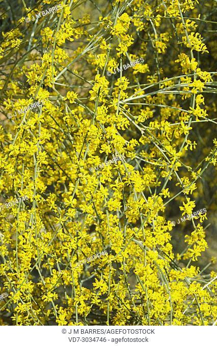 Retama amarilla (Retama sphaerocarpa) is a medicinal shrub native to Iberian Peninsula and north Africa. This photo was taken in Cabo de Gata Natural Park
