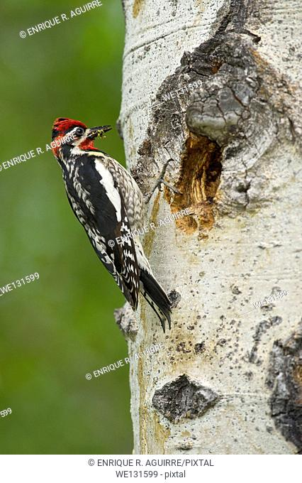 Red-naped Sapsucker (Sphyrapicus nuchalis), male