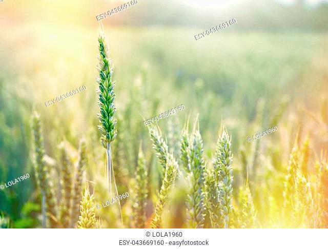 Wheat field - green wheat, unripe wheat lit by sunlight