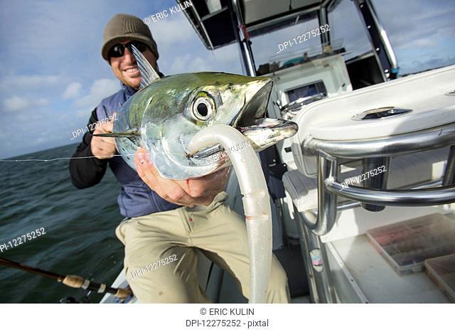 Fisherman holds a fresh caught false albacore; Cape Cod, Massachusetts, United States of America