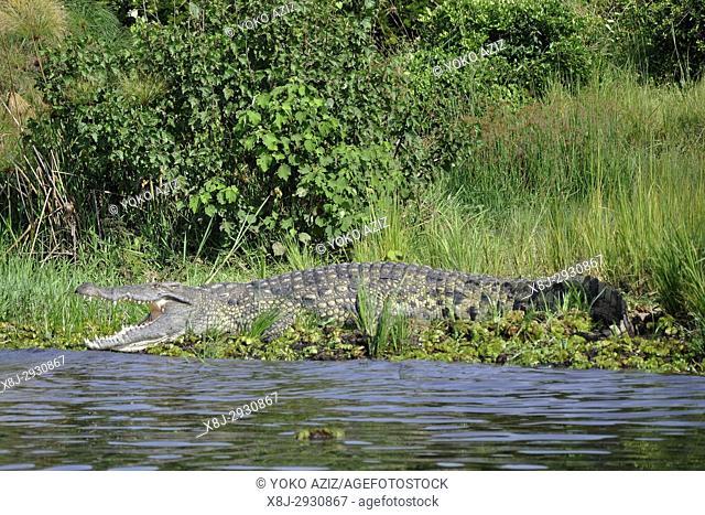 Uganda, Sailing on Nile River, Crocodile