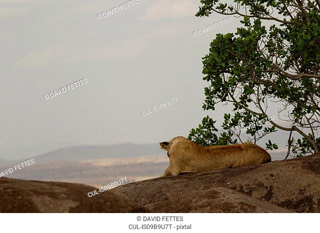 Lion, Panthera leo, Serengeti National Park, Tanzania