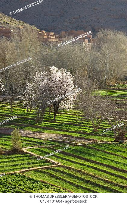 Morocco - Villages in the fertile Dadès Gorge in the southern foothills of the High Atlas mountains  The blossom of the almond trees Prunus dulcis takes place...