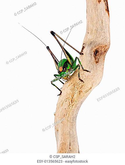 Eupholidoptera chabrieri - Bush cricket insect macro
