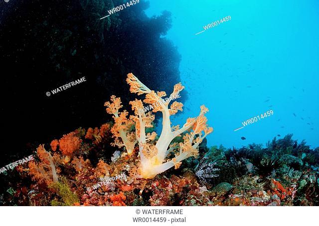 Coral Reef with Soft Corals, Alcyonaria sp., Komodo, Flores sea, Indonesia