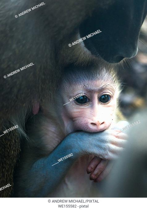 Mother and baby Drill monkeys. Captive