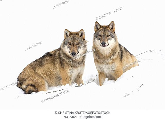 Two wolves (Canis lupus) in winter, Bavarian Forest National Park, Germany