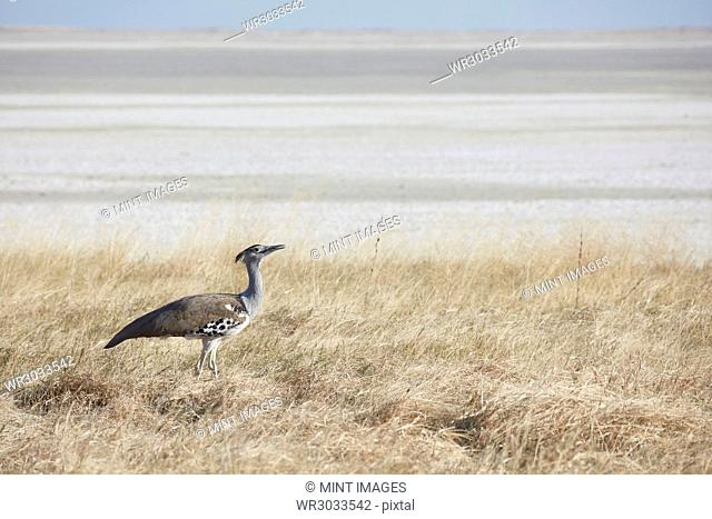 A Kori bustard, Ardeotis kori, a large bird on the ground, in open space