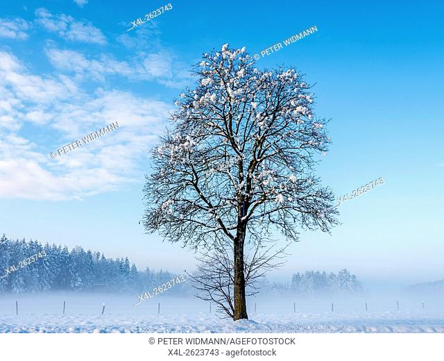 Single tree in snowy winter landscape, Upper Bavaria, Bavaria, Germany, Europe