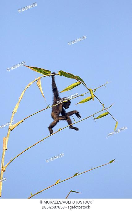 South east Asia, India,Tripura state,Gumti wildlife sanctuary,Western hoolock gibbon (Hoolock hoolock),baby