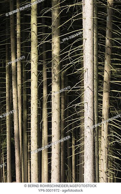 coniferous forest with spruces, Saar-Hunsrück nature park, near Holzerath, Rhineland-Palatinate, Germany