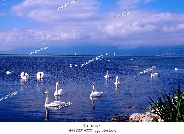 Mute Swans, Cygnus olor, Anatidae, Swan, bird, animal, sailing boats, lake, Lake of Neuchtel, La Sauge, nature reserve, Canton of Vaud, Switzerland