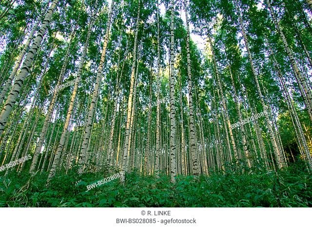 birch (Betula spec.), dense standing birches in birch forest