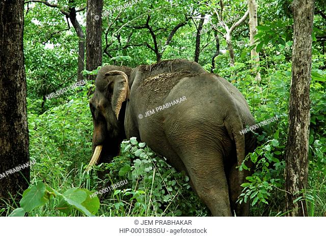 TAMED ELEPHANT USED FOR CAPTURING WILD ELEPHANTS, PEPPARA, TRIVANDRUM, INDIA