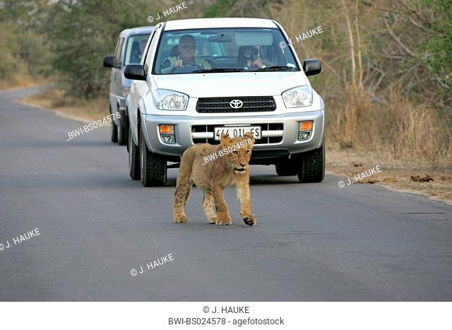 lion (Panthera leo), cub on road in front of car, South Africa, Krueger National Park