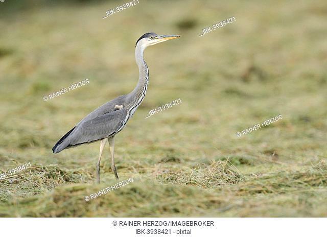 Grey Heron (Ardea cinerea) foraging on a cut meadow, North Rhine-Westphalia, Germany