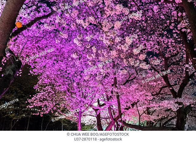 Cherry blossoms at night in Seoul Han River, South Korea