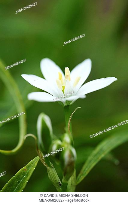 addersmeat, Stellaria holostea, blossom, close-up