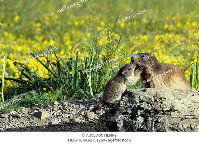 France, Alpine Marmot (Marmota marmota), adult and young mamotton