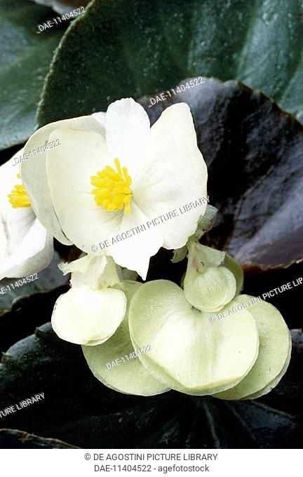 Begonia x semperflorens, Begoniaceae