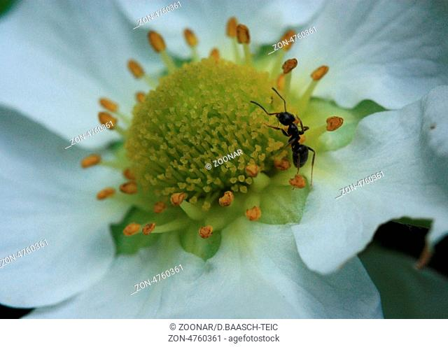 Yellow stamens with Ant