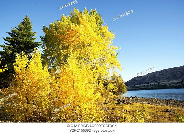 Autumn leaves on trees by Lake Wanaka, Otago, New Zealand