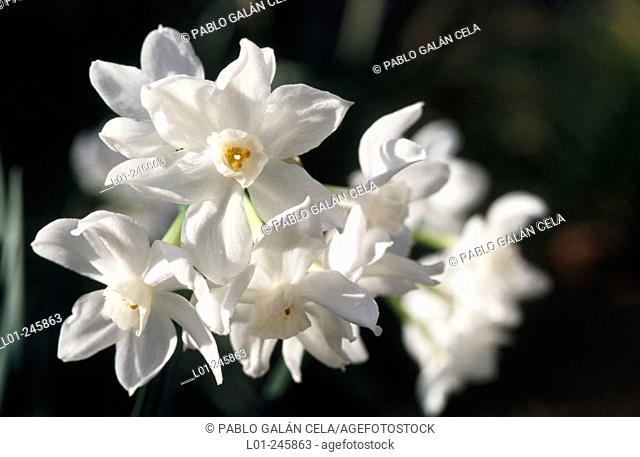 Paperwhite narcissus (Narcissus papyraceus)