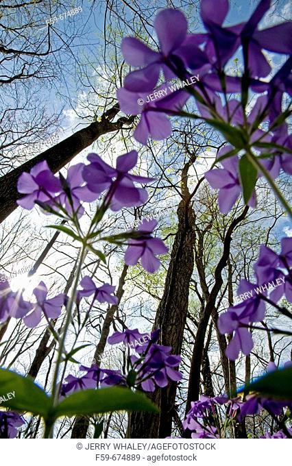 Phlox, Spring Wildflowers, Trees Budding, Great Smoky Mtns Nat  Park, TN, USA