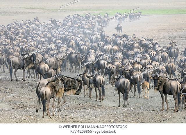 Brindled Gnu/Wildebeest (Connochaetes taurinus), wandering herd, Tanzania