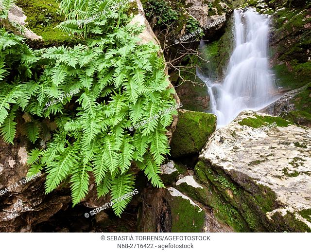 Fern at Torrent of Lluc, Escorca, Majorca, Spain