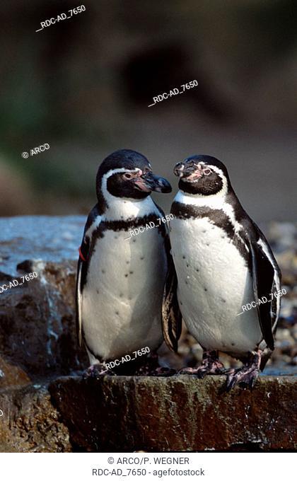 Humboldt's Penguins Spheniscus humboldti