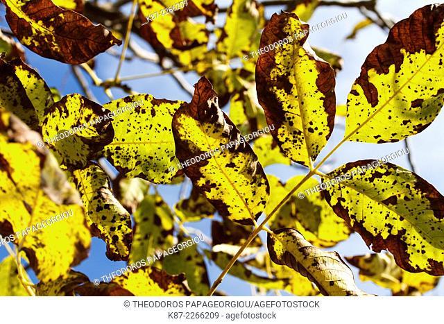 Walnut tree leafs in autumn