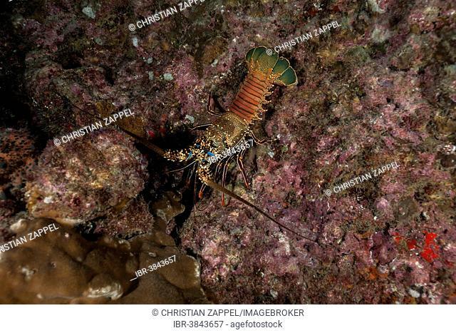 Two Spined Lobster (Panulirus penicillatus), Cocos Island, Costa Rica