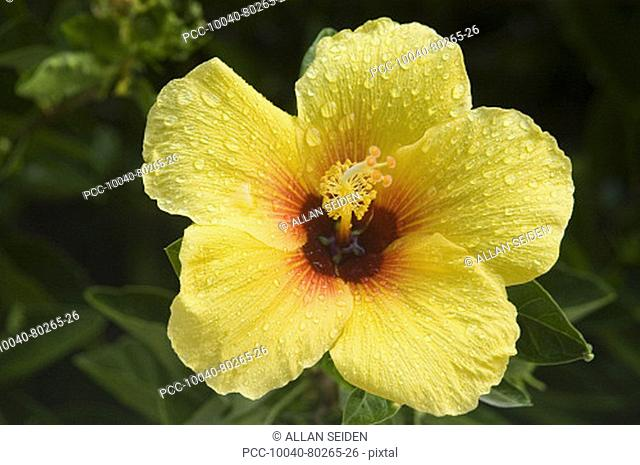 Bright yellow hibiscus, wet with dew