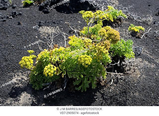 Lechuga de mar (Astydamia latifolia) is a biannual or perennial herb native of Canary Islands. This photo was taken in La Palma Island