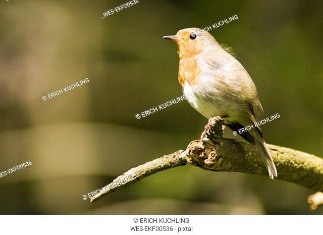 Robin perched on branch (Erithacus rubecula)