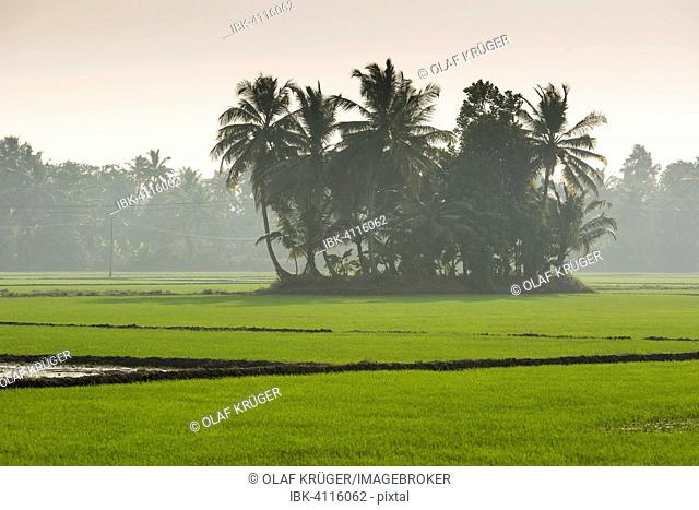 Palm trees and paddy fields, backwaters, Kerala, Malabar Coast, South India, India
