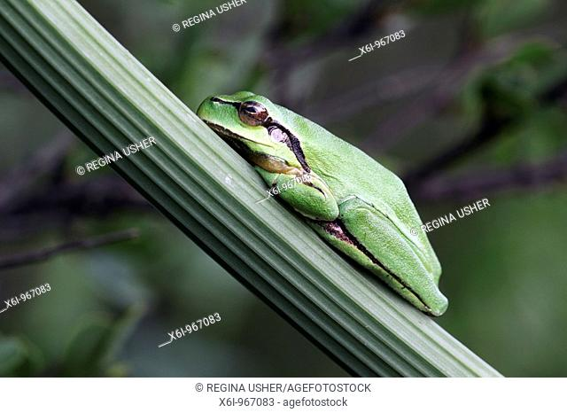 European Treefrog Hyla arborea, sitting on branch, Neusiedler See National Park, Austria