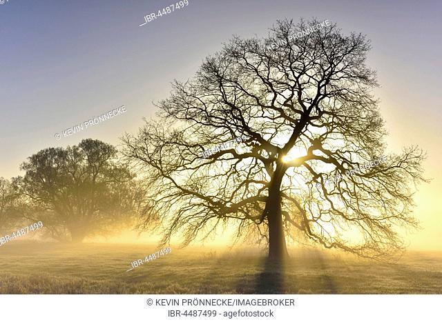 Bald solitary oak tree, English oak (Quercus robur) with sunbeams, River Elbe Floodplains at sunrise, foggy atmosphere, Middle Elbe Biosphere Reserve