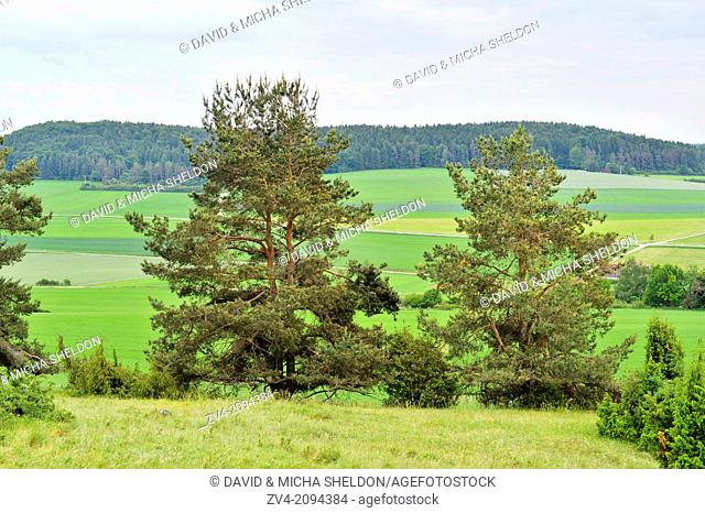 Landscape with Scots pines (Pinus sylvestris) in Oberpfalz, Germany
