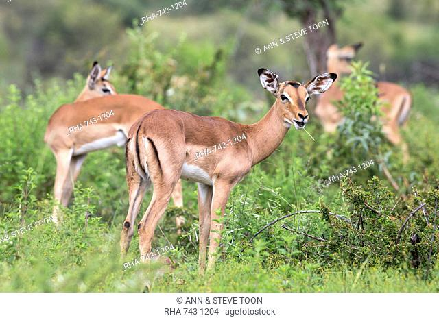 Impala (Aepyceros melampus) herd with young male feeding, Pilanesberg Game Reserve, North West province, South Africa, Africa