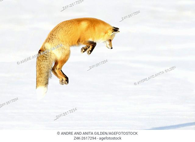 American Red Fox (Vulpes vulpes fulva) adult, hunting, jumping on prey in snow, Yellowstone national park, Wyoming, USA