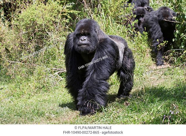 Mountain Gorilla (Gorilla beringei beringei) 'silverback' alpha male, leading family group into clearing, Volcanoes N.P., Virunga Mountains, Rwanda, June
