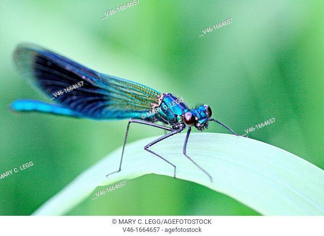 Banded Demoiselle, Calopteryx splendens  Male  Metallic midnight blue