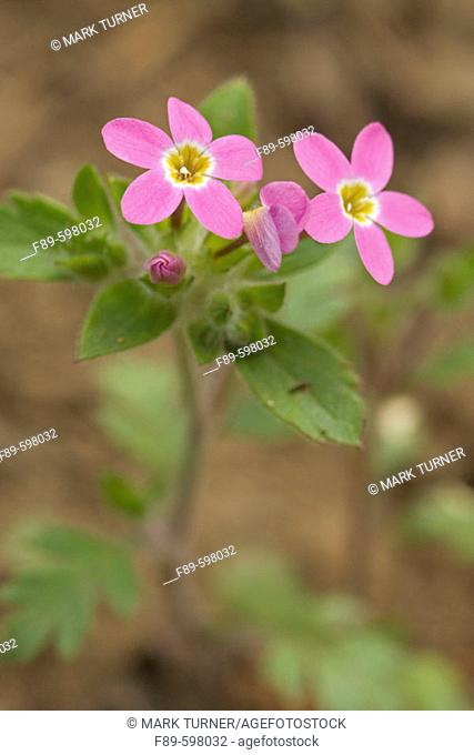 Varied-leaf Collomia (Collomia heterophylla). Umpqua NF, OR